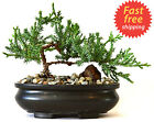 Bonsai Tree Zen Juniper Little Live Nature Japanese Pot Indoor Plant Desk New