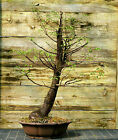 Bonsai Tree Dawn Redwood Specimen DRST 831C