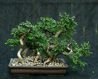 Bonsai Tree Chinese Elm Grove CEG7 724