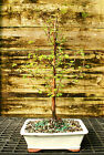 Bonsai Tree Dawn Redwood DR 302D