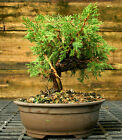 Bonsai Tree Shimpaku Juniper Itoigawa SJI 1026F