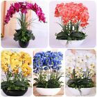 US 100 Pcs Mixed Colors Phalaenopsis Seeds Bonsai Balcony Flower Orchid Seeds