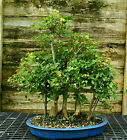 Bonsai Tree Specimen Trident Maple Grove 7 Trees TMSTG7 815
