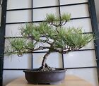 Bonsai Mikawa Black Pine 28 years old