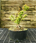 Pre Bonsai Tree Kotohime Maple KHM3G 227D