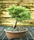 Bonsai Tree Five Needle White Pine WP 1227F