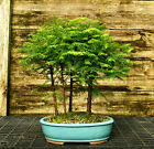 Bonsai Tree Dawn Redwood Grove DRG5 502A
