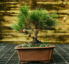 Bonsai Tree Japanese Black Pine JBP 104K
