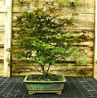 Bonsai Tree Japanese Red Maple JRM 518A