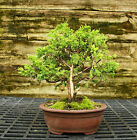Bonsai Tree Shimpaku Juniper Itoigawa SJI 521B