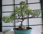 Mikawa Black Pine Japanese Bonsai 28 years old