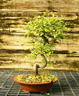 Bonsai Tree Chinese Elm CE 302B
