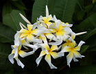 Plumeria Rooted Seedling 1 Live Plants Beautiful Fragrant Flowering