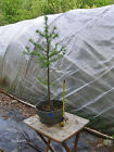 Larch Bonsai 5 Prefinished Informal Upright Recently Pruned Nice Outline