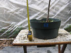 Larch Bonsai 9 Informal Upright High Branched Good Stock for Bunjin