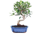 Brussels Bonsai Tree Kit Soil Ficus Plant Indoor Plants For Men Food Small Pots