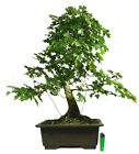 large field maple acer campestre outdoor bonsai tree