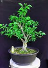 Japanese Flowering fruiting apricot mume bonsai tree 41
