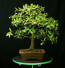 Bonsai Tree Collected Willow Oak CWO 701