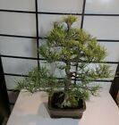Mikawa Black Pine Bonsai 28 years old
