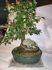 Trident Maple Bonsai Root over Rock