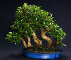 Golden Gate Ficus Indoor Bonsai Tree Tropical Import Bonsa Tree GGF8014