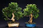Golden Gate Ficus Indoor Bonsai Tree Tropical Import Bonsa Tree GGF2007