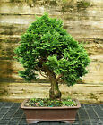 Specimen Bonsai Tree Hinoki Cypress HCST 625B