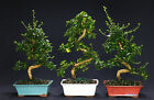 Fukien Tea Indoor Bonsai Tree Tropical Imported Bonsai Tree FT9002