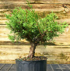 Bonsai Tree Shimpaku Juniper Itoigawa SJI1G 927D