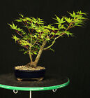 Bonsai Tree Japanese Maple Arakawa Corkbark Specimen JMA 220C