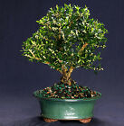 Harland Boxwood Bonsai Outdoor Indoor Large Beginner Bonsai Tree HB4812