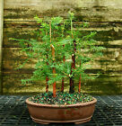 Bonsai Tree Dawn Redwood Grove DRG5 728C