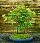 Bonsai Tree Trident Maple Grove 7 Trees TMG7 728A