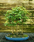 Bonsai Tree Trident Maple Grove 7 Trees TMG7 728C