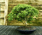 Kingsville Boxwood Specimen Bonsai Tree KBST 728B