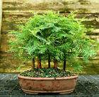 Bonsai Tree Dawn Redwood Grove DRG5 728E