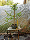 Larch Bonsai 11 Informal Upright Straight Trunk Wide Branching