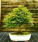 Bonsai Tree Trident Maple TM 728G