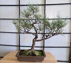 Mikawa Japanese Black Pine Bonsai 27 years old