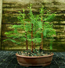 Bonsai Tree Dawn Redwood Grove DRG5 728A