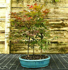 Bonsai Tree Japanese Red Maple Grove JRMG3 518B
