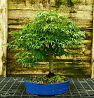 Bonsai Tree Japanese Maple Sharpes Pygmy JMSP 209C