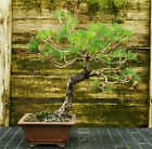 Bonsai Tree Japanese Black Pine JBP 815E