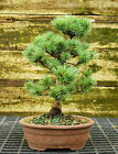 Bonsai Tree Five Needle White Pine WP 815G