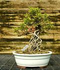 Bonsai Tree Exposed Root Satsuki Azalea Akane Specimen SAAST 424A