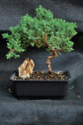 Juniper Tree Bonsai Live House Plant with Handmade Ceramic Pot Green Gift Idea