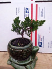 Japanese Juniper nana Bonsai Starter Tree 4 Houseplant growing in Ceramic Pot