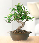 Golden Gate 4 Year old Ficus Bonsai Tree Tropical indoor Live Houseplant 9 tall