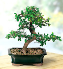 Chinese Elm Deciduous outdoor Bonsai Tree Great Green Gift Idea